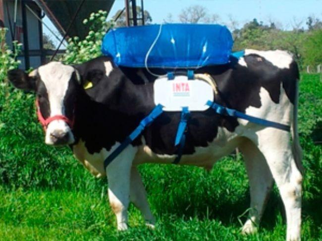 La flatulencia de metano de una vaca acumulada durante un año ¿sería capaz de impulsar a esta vaca hasta el espacio?