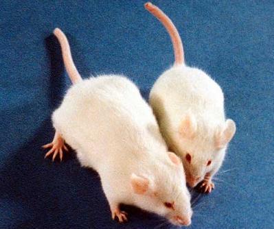 Peleas entre animales machos, las feromonas presentes en la orina son las responsables