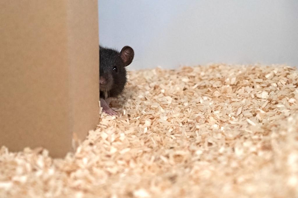 Las ratas pueden jugar al escondite con los seres humanos y estos vídeos lo demuestran