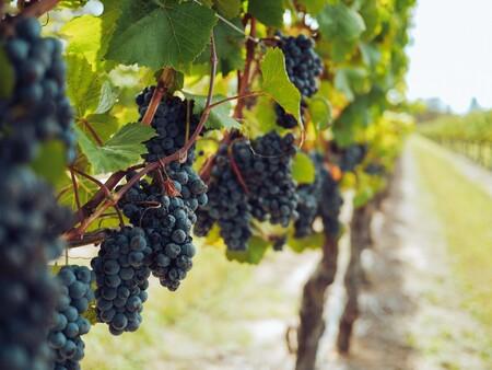 uva tinta viñedo vino moderno