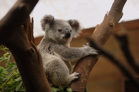 Koala 3055832 1920