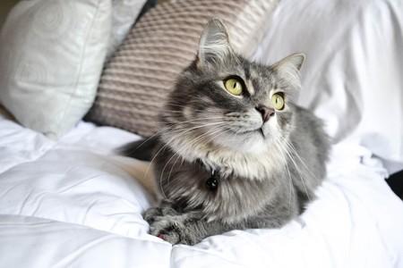 gato-embarazo
