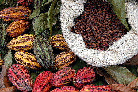 cacao-semillas-vainas