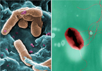 Bacterias que combaten infecciones a lo Kamikaze