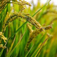 Se ha conseguido obtener arroz clonado gracias a CRISPR, y eso puede preparar el camino para revolucionar la agricultura