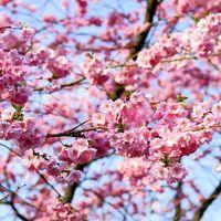 Las flores de los cerezos aparecerán antes que nunca y eso es malo