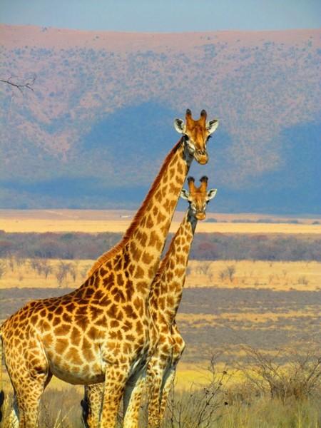 Giraffes 382399 960 720