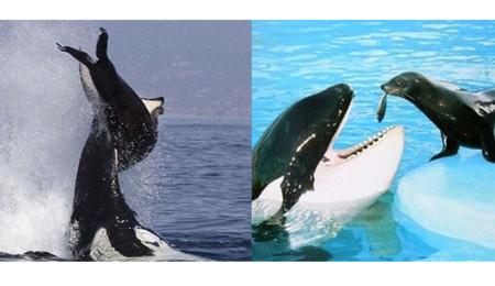 Comparación del comportamiento de la orca en distintos hábitats