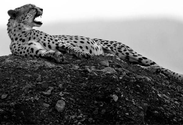 Foto de La belleza animal en Blanco y Negro (11/12)