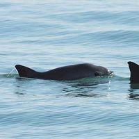 El rescate de la vaquita marina en México cada vez es más complicado y caro, su extinción es inminente