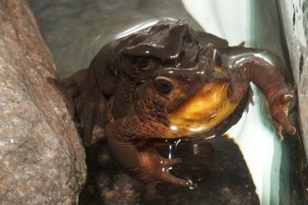 """Un niño encuentra una rana """"extinguida"""" y gana 1000 dólares en Ecuador"""