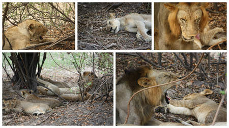grupo-leones-dormitando