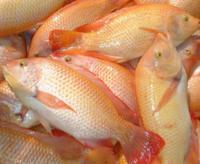 El pollo acuático: La mojarra tilapia
