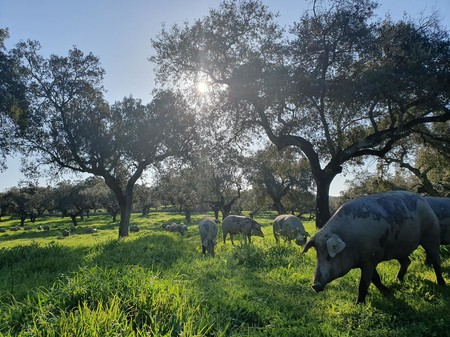 De montanera en tierras de Joselito: el Pig Data y cómo el jamón ibérico de lujo puede salvar el campo español