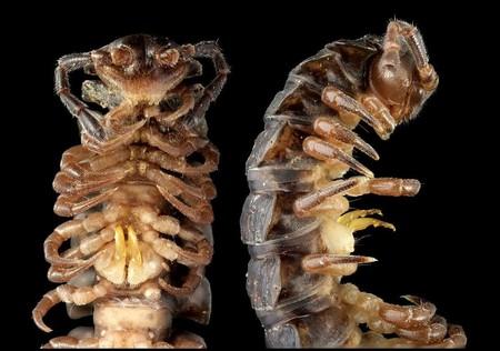 Este es el animal con mayor número de patas que existe (y son muchas)