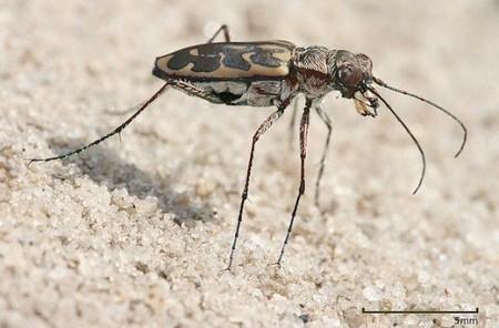 Este es el insecto terrestre más rápido y tiene que reducir velocidad para poder ver bien