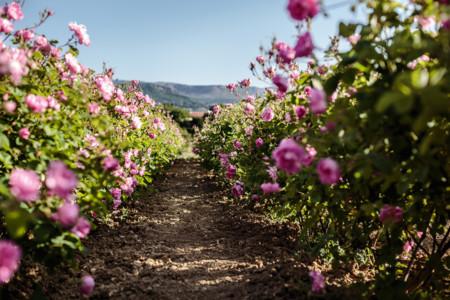 La rosa de mayo de Grasse, la bergamota de Calabria y el jazmín de la India los ingredientes principales de los perfumes Dior ahora en 3 documentales