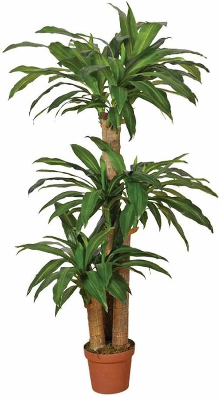PLANTA NATURAL DRACENA