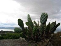 El cactus, un alimento desconocido