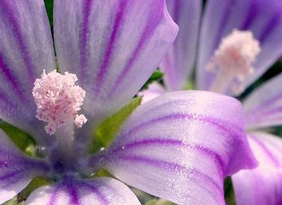 Flores de malva para pieles muy sensibles