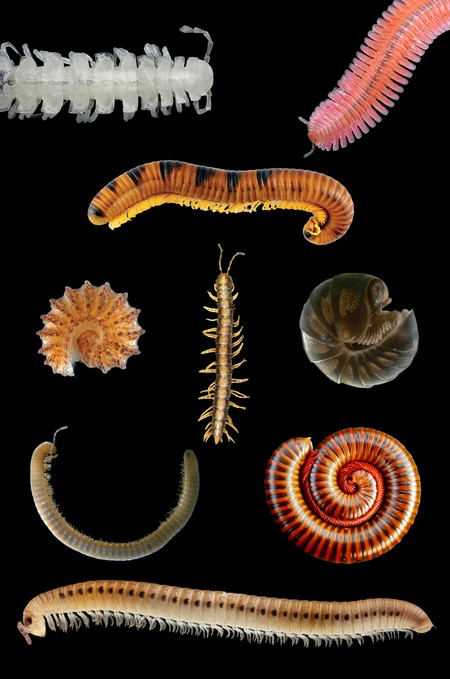 Millipede Collage