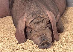 Cerdo sin hormonas o antibióticos para los atletas de las Olimpiadas de Beijing 2008