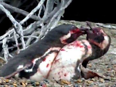 Así de sangrienta puede ser una infidelidad entre pingüinos