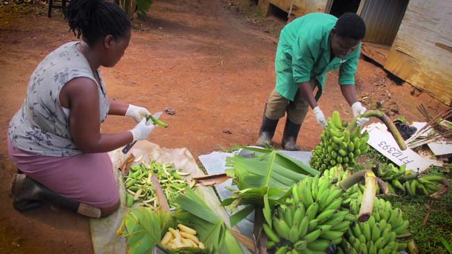 Platanos en Uganda