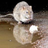 Por primera vez una persona enferma con la versión de rata del virus de la hepatitis E