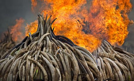 El ADN de los elefantes ha servido para descubrir a los tres cárteles del marfil más importantes del mundo