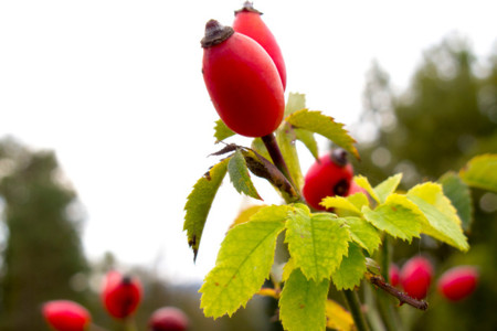 Escaramujo, una fruta silvestre concentrada en vitamina C