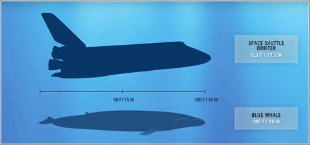 Ballena azul - Wikifaunia, naturaleza y salud