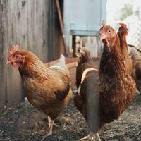 Estamos dejando de comer huevos de gallinas enjauladas: cuando el consumidor cambia la industria