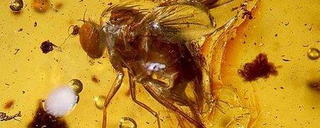 Encuentran nuevas especies fosilizadas en ámbar