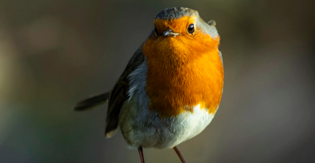 Este pájaro tiene una brújula en los ojos: descubren los efectos cuánticos que permiten a las aves migratorias