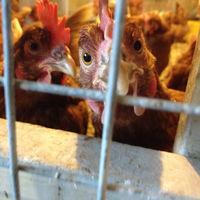 Francia prohibirá la venta de huevos de gallinas enjauladas a partir de 2022 (y esto es solo el principio)