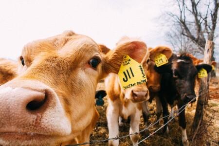 Vaca 02