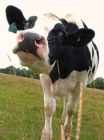 Alergias en los bebés: Alergia a las proteínas de la leche de vaca