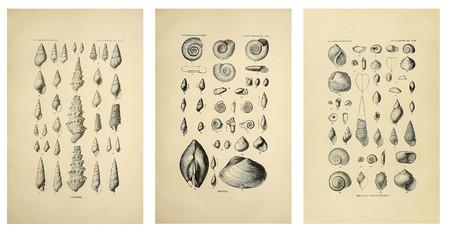 Ilustracion Conchas Marinas Vintage