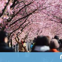 Las 29 fotos que demuestran que los 8.000 cerezos en flor de Kawazu son el espectáculo más bello de esta época