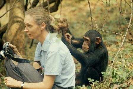 jane-goodall-chimpance