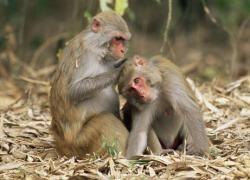 Las monas también les hablan a sus crías en idioma bebé