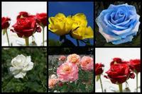 Si quieres emocionarla, regálale rosas