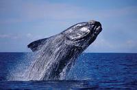Argentina: la llegada de las ballenas podrá seguirse vía internet