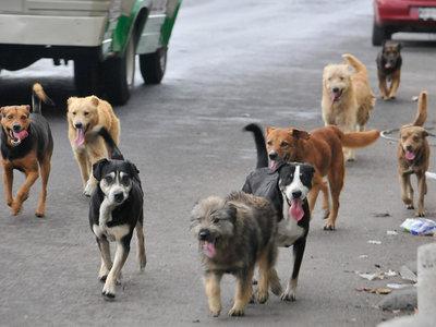 Con croquetas anticonceptivas UAM y UNAM quieren controlar la población de perros callejeros en México