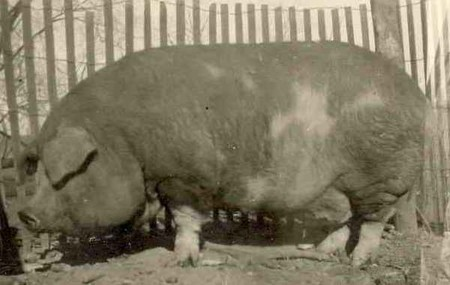 Big Bill 255owned By Buford Of Jackson Tn Biggest Pig1