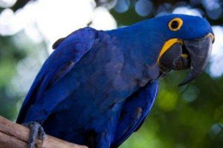 guacamayo-azul-de-brasil-arara-azul-por-f-weberich_2767526.jpg