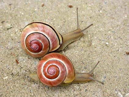 Convi rtete en cient fico estudiando caracoles en tu jard n for Caracoles en el jardin