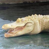 Este caimán no es un zombi, aunque no lo parezca: es albino y tiene piel blanca y ojos rosados