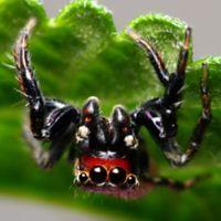 La araña que se siente atraída por tus calcetines (sucios) y combate la malaria en África